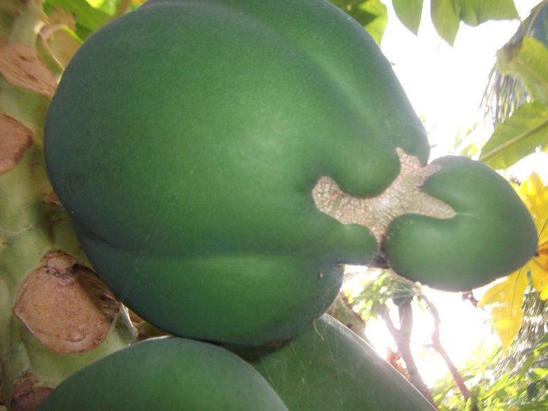 papaya in the shape of calabash